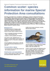 Common scoter: species information for marine Special Protection Area consultations (Thumbnail link to record)
